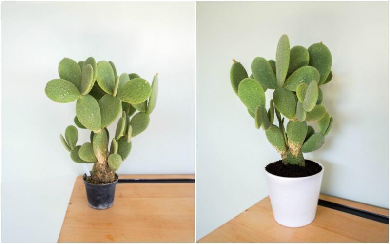 cactussen4